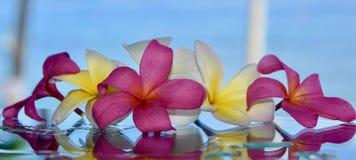 Roze en Witte Frangipanis stock foto