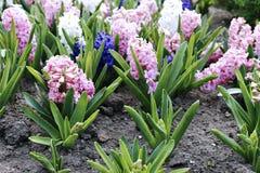 Roze en witte hyacintbloemen Stock Afbeeldingen