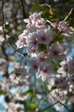 Roze en witte kersenbloesem, zonovergoten in de lente stock afbeelding