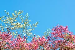 Roze en witte kersenbloesems Stock Afbeelding
