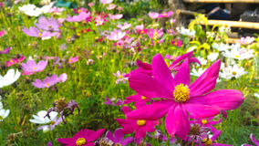 Roze en witte kosmosbloem Royalty-vrije Stock Fotografie