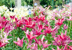 Roze en witte lelie in park Royalty-vrije Stock Afbeeldingen