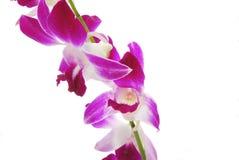 Roze en witte orchideeën Royalty-vrije Stock Afbeeldingen