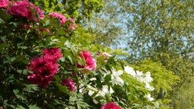 Roze en witte pioenen in een park Parijs, Frankrijk stock video