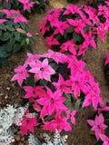 Roze en witte poinsettia stock foto