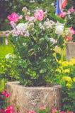 Roze en witte rozen Stock Foto's