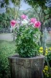 Roze en witte rozen Royalty-vrije Stock Afbeelding
