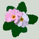 Roze en witte sleutelbloem met groene bladeren Royalty-vrije Stock Foto's