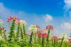 Roze en Witte Spinbloem Stock Foto's