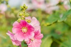 Roze en witte stokroosbloem Royalty-vrije Stock Afbeelding