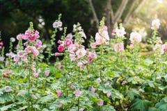 Roze en witte stokroosbloem Stock Foto