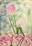 Roze en Witte Tulip Rising Above Others Stock Foto's