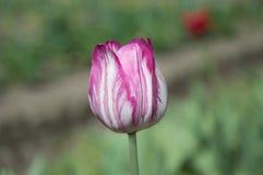 Roze en Witte Tulp Stock Foto