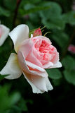 Roze Engels nam toe Royalty-vrije Stock Foto's