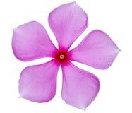 Roze enige bloem stock foto's