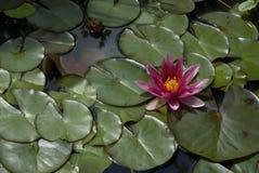 Roze exotische waterlelie Royalty-vrije Stock Foto's