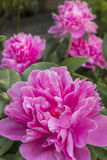 Roze festiva van Pioenpaeonia Royalty-vrije Stock Foto