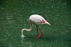 Roze flamingo Stock Foto's