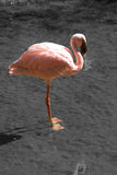 Roze flamingo Stock Foto's