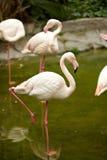 Roze flamingo Stock Afbeelding