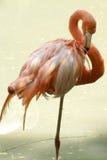 Roze flamingo Royalty-vrije Stock Afbeeldingen