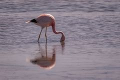 Roze flamingo die in ondiep water het voeden waden stock fotografie