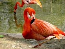 Roze flamingo die in vijver rusten Royalty-vrije Stock Afbeeldingen