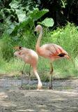 Roze flamingo in een dierentuin Stock Fotografie