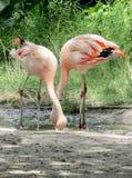 Roze flamingo in een dierentuin Stock Afbeeldingen