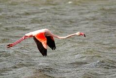 Roze flamingo lat Phoenicopterusvliegen over het water Schoonheid, gunst, een speciale charme en een uniciteit van flamingo's stock afbeelding