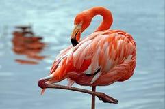 Roze flamingo lat Phoenicopterusvliegen over het water Schoonheid, gunst, een speciale charme en een uniciteit van flamingo's royalty-vrije stock foto