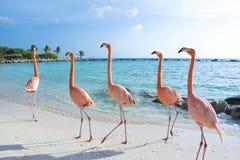 Roze flamingo op het strand, het eiland van Aruba Royalty-vrije Stock Foto's