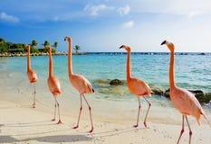 Roze flamingo op het strand, het eiland van Aruba Stock Fotografie