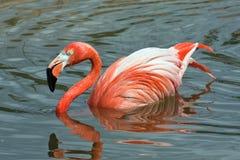 Roze flamingo op meer Royalty-vrije Stock Foto's