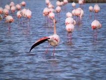 Roze flamingo's Stock Fotografie