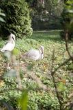 Roze flamingo's Royalty-vrije Stock Foto