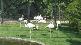 Roze Flamingo's stock videobeelden