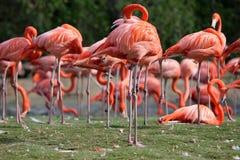 Roze Flamingo's Stock Afbeeldingen
