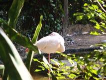 Roze Flamingo's Royalty-vrije Stock Fotografie