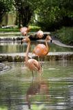 Roze Flamingo's Royalty-vrije Stock Foto's