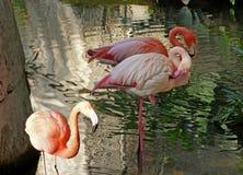 Roze Flamingo's Royalty-vrije Stock Afbeeldingen