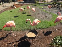 Roze Flamingo's Stock Foto's