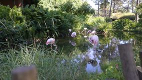 Roze Flamingo's bij de Dierentuin stock video