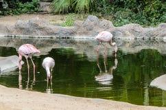 Roze flamingo's bij de dierentuin in Loro-Park, Puerto de la Cruz stock foto