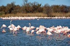 Roze flamingo's in Camargue, Frankrijk Royalty-vrije Stock Fotografie