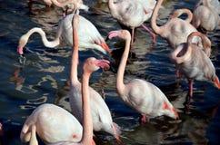 Roze flamingo's in Camargue, Frankrijk Stock Foto