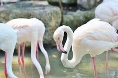Roze Flamingo's in de natuurlijke habitat Royalty-vrije Stock Foto's