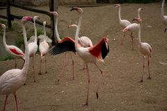 Roze flamingo's in DIERENTUIN - het lopen en het proberen te vliegen Royalty-vrije Stock Afbeeldingen