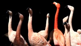 Roze flamingo's in een park stock video