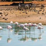 Roze flamingo's in het water Stock Foto's